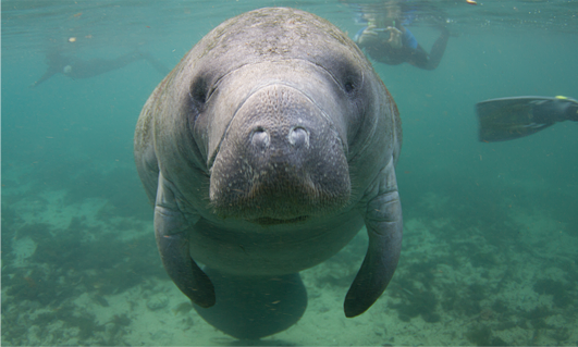 Diving with a Manatee